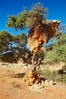 Tree with Big Nest of Weaver Birds Colony, Kalahari Desert, Namibia by DmitryP