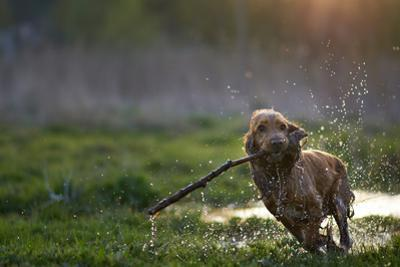 Redhead Spaniel Dog Running with a Stick in the Grass and Puddles by Dmytro Vietrov