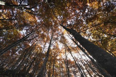 Beech Forest Canopy in Autumn, Piatra Craiului Np, Southern Carpathian Mountains, Romania