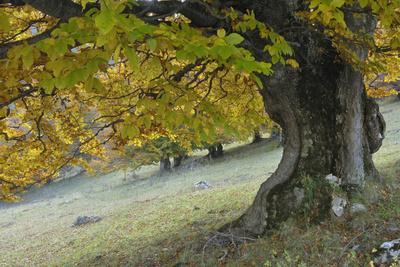 Beech Tree (Fagus Sp) in Autumn, Piatra Craiului Np, Southern Carpathian Mountains, Romania