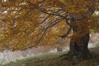 Beech Trees in Autumn, Piatra Craiului National Park, Southern Carpathian Mountains, Romania