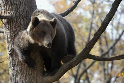 European Brown Bear (Ursus Arctos) in Tree, Captive, Private Bear Park, Near Brasov, Romania