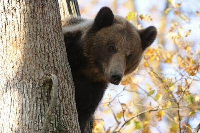 European Brown Bear (Ursus Arctos) Looking Down from Tree, Captive, Brasov, Romania