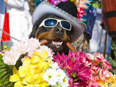 https://imgc.allpostersimages.com/img/posters/dog-carrying-flowers-at-the-carnival-in-funchal-madeira-portugal-europe_u-L-PFK6YC0.jpg?p=0