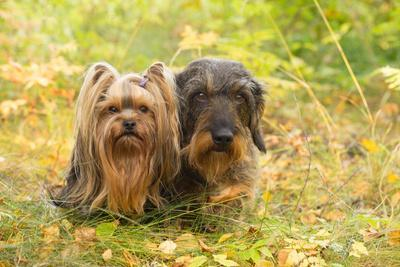 https://imgc.allpostersimages.com/img/posters/dog-portrait-of-yorkshire-terrier-and-wire-haired-dachshund_u-L-Q1EXWFK0.jpg?artPerspective=n