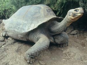 Giant Turtle, Santa Cruz Island, Galapogos Islands by Dolores Ochoa