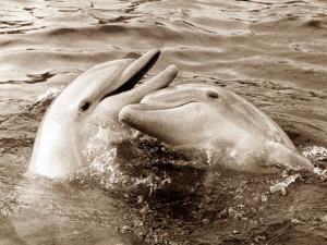 Dolphin Friendship