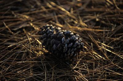 Famous Pinehurst Pinecones