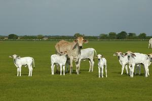 Domestic Brahma Cattle, Adult and Young