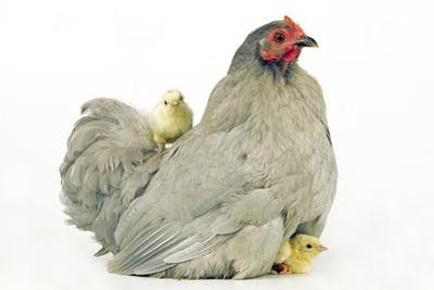 Domestic Chicken Hen and Chicks