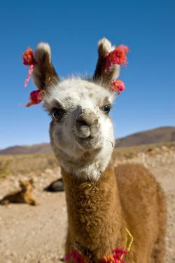 Domesticated Llama, Argentina