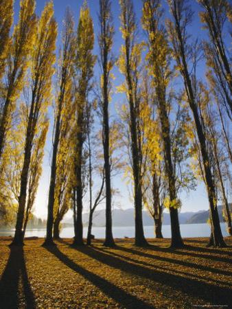 Autumnal Trees by Lake Wanaka, Otago, South Island, New Zealand