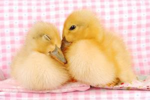 Two Baby Ducks Who like Each Other by Dominik Eckelt