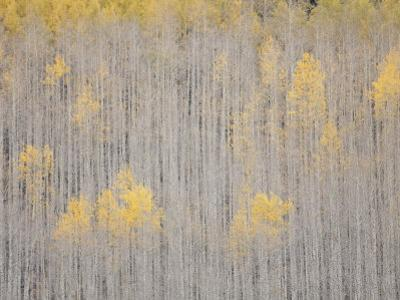 Aspen Trees, White River National Forest, Colorado, USA by Don Grall