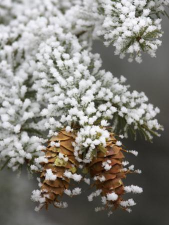 Douglas-Fir Cones and Needles, Pseudotsuga Menziesii, with Hoarfrost on a Cold Morning, Western USA by Don Grall