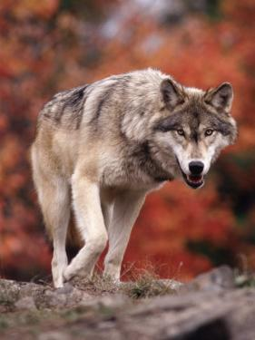 Timber Wolf by Don Grall