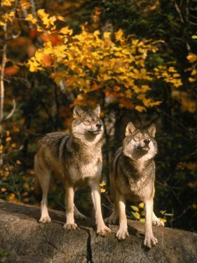 Two Alert Timber Wolves Standing on a Rock by Don Grall