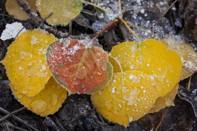 USA, Colorado, Uncompahgre NF. Frozen Water on Aspen Leaves by Don Grall