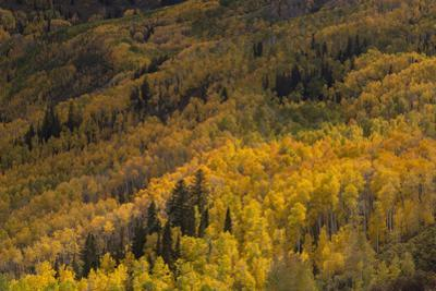 USA, Colorado, White River NF. Aspen Trees in Peak Autumn Color by Don Grall