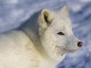 Artic Fox (Alopex Lagopus) Massey, Ontario, Canada by Don Johnston