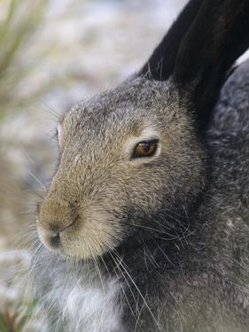 Artic Hare (lepus Articus) in Summer, Churchill Manitoba, Canada by Don Johnston