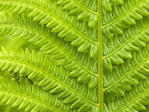 Cinnamon Fern (Osmunda Cinnamomea) Detail of Emerging Fronds, Lively, Ontario, Canada. by Don Johnston