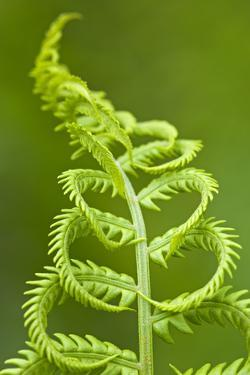 Cinnamon Fern's Fertile Spore-Bearing Fronds are Erect and Shorter by Don Johnston