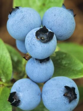 Detail of Ripe Blueberries on Shrubs, a Favorite Food of Birds, Canada by Don Johnston
