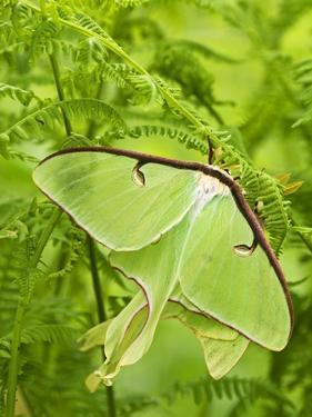 Luna Moth (Actias Luna) Mating Pair Among Hay-scented Ferns, Lively, Ontario, Canada. by Don Johnston