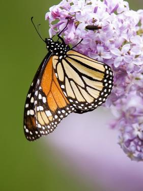 Monarch Butterfly (Danaus Plexippus) Nectaring on Lilac Flowers, Wanup, Ontario, Canada. by Don Johnston