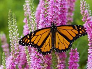 Monarch Butterfly (Danaus Plexippus) Nectaring on Speedwell Plant (Veronica Officinalis) in Flower by Don Johnston