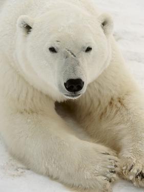 Polar bear (Ursus maritimus) by Don Johnston