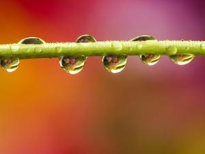 Raindrops on Graden Flower Stem, Canada by Don Johnston
