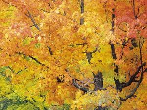 Red Maple in Autumn Foliage, Canada by Don Johnston
