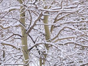 Trembling Aspens (populus Tremuloides) in Winter, Sudbury Ontario, Canada by Don Johnston