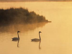 Two Adult Trumpeter Swans (cvanus Buccinator) in Morning Light at the Mouth of Junction Creek, Wald by Don Johnston
