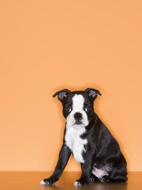 Boston Terrier Puppy by Don Mason