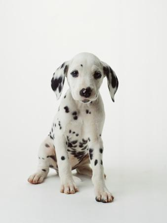 Dalmatian Puppy by Don Mason