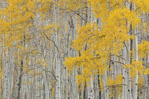 Aspen Trees by Don Paulson