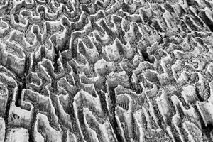 Bahamas, Little Exuma Island. Coral Close-up in Black and White by Don Paulson