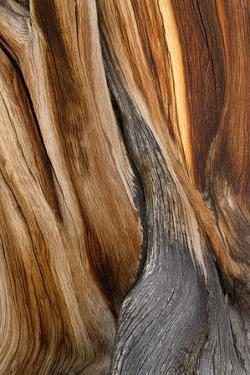 California, White Mountains. Patterns in Bristlecone Pine Wood by Don Paulson