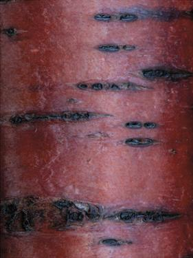 Cherry Tree Close Up by Don Paulson