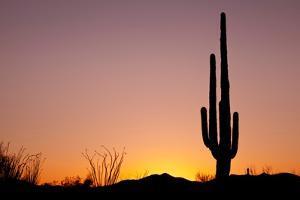 Usa, Arizona, Tucson, Saguaro National Park, Saguaro Cactus at Sunset by Don Paulson Photography