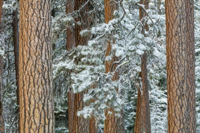 Snowy Pine Forest 2 by Don Paulson