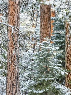 Snowy Pine Forest 3 by Don Paulson