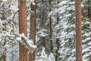 Snowy Pine Forest by Don Paulson