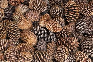 USA, California, Inyo National Forest.  Bristlecone tree pine cone. by Don Paulson