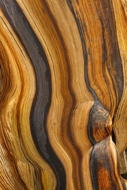 USA, California, Inyo National Forest. Patterns in a bristlecone pine. by Don Paulson