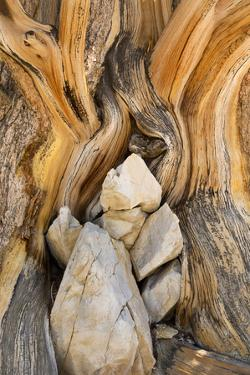 USA, California, Inyo NF. Patterns in bristlecone pine wood. by Don Paulson
