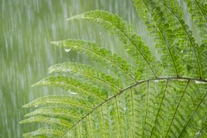 USA, Washington State, Seabeck. Fern in Rainfall by Don Paulson